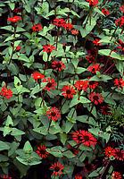 Zinnia tenuifolia, species zinnias in hot red orange color