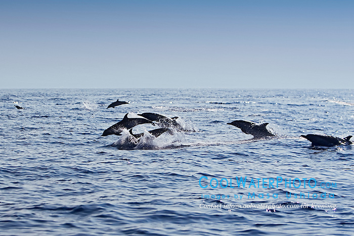 Pantropical Spotted Dolphins, Stenella attenuata, jumping, off Kona Coast, Big Island, Hawaii, Pacific Ocean