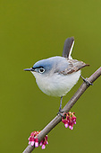 Blue-gray Gnatcatcher (Polioptila caerulea) perched on a Redbud branch, Ontario, Canada.
