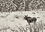 A single moose stands in the snow during winter in the Palouse of Washington state, near Rockford.