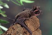 Adult Mexican Free-tailed Bat (Tadarida brasiliensis), Chiricahua Mountains, Arizona, USA.