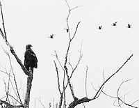 An immature bald eagle (Haliaeetus leucocephalus) is perched on a bare tree branch staring off in the distance at a group of geese flying in a row in this black and white  photo rendering