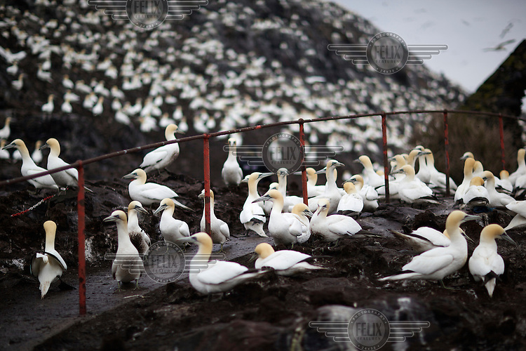 Atlantic gannets (Morus Bassanus) on Bass Rock off the coast of Dunbar, East Lothian. The rock hosts the largest single rock colony of this species in the world with 150,000 birds. They can reach a wingspan of 1.8m and stand 1m tall.