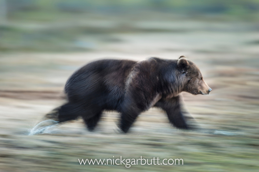 Male Brown Bear (Ursus arctos) running over wet ground at forest edge in early morning. Late April 2012, Kuhmo, Finland