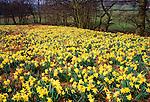 Wild Spring Daffodils growing enmasse in Farndale