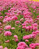 Field of beautiful flowers of ranunculus