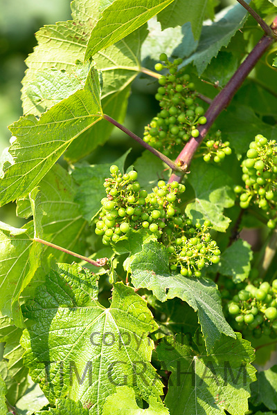 Grapes in mid-season (July) along the Champagne Tourist Route in the Marne Valley, Champagne-Ardenne, France