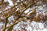 Short-eared owl (Asio flammeus) in branches of alder tree. Surrey, UK.