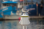 A seagull sleeps on a harbor light in the Cordova, Alaska harbor.