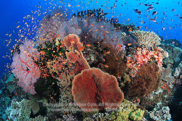 qe0374-D. A vibrant, busy coral reef with hard and soft corals, sea fans, and orbited by a cloud of Scalefin anthias (Pseudanthias squammipinnis) fish. Fiji, tropical Pacific Ocean..Photo Copyright © Brandon Cole. All rights reserved worldwide.  www.brandoncole.com..This photo is NOT free. It is NOT in the public domain. This photo is a Copyrighted Work, registered with the US Copyright Office. .Rights to reproduction of photograph granted only upon payment in full of agreed upon licensing fee. Any use of this photo prior to such payment is an infringement of copyright and punishable by fines up to  $150,000 USD...Brandon Cole.MARINE PHOTOGRAPHY.http://www.brandoncole.com.email: brandoncole@msn.com.4917 N. Boeing Rd..Spokane Valley, WA  99206  USA.tel: 509-535-3489