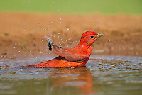 580980030 a wild male summer tanager piranga rubra bathes in a small pond at laguna seca ranch in the rio grande valley of south texas