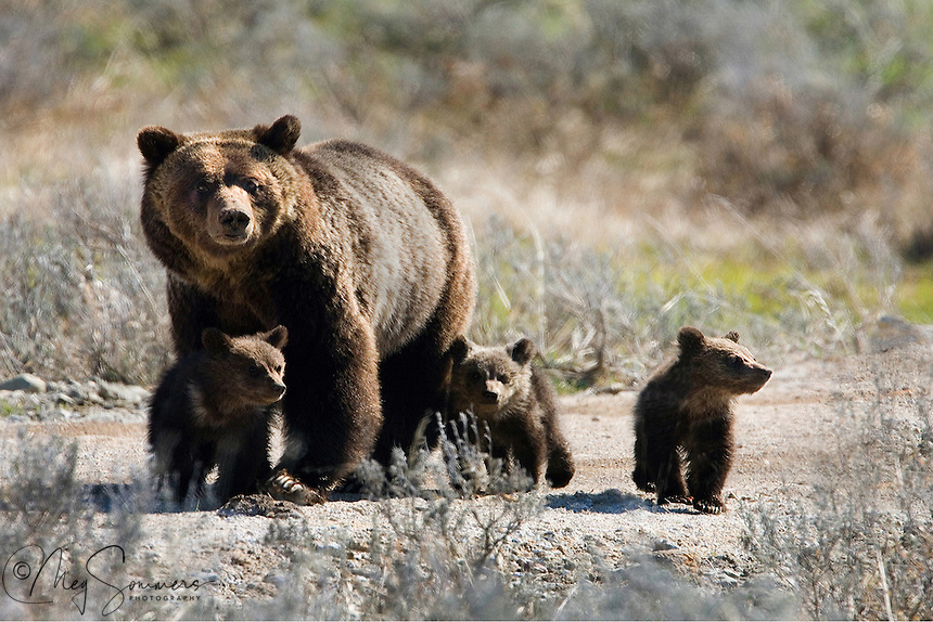 Grizzly (Ursus arctos horribilis) triplets are somewhat rare in Yellowstone and a real treat to see. Born in the den in February or March, their mom waits until May or June to bring them out to explore their new world. Indian Pond, Yellowstone.