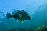 Freshwater Drum, Underwater