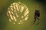 Spider webs at sunset with garden spider on webs close up of orb spider moving on web Marysville Washington State USA