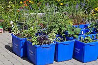 Basil and a variety of different edible vegetables growing in a container garden made from blue plastic recycing boxes.