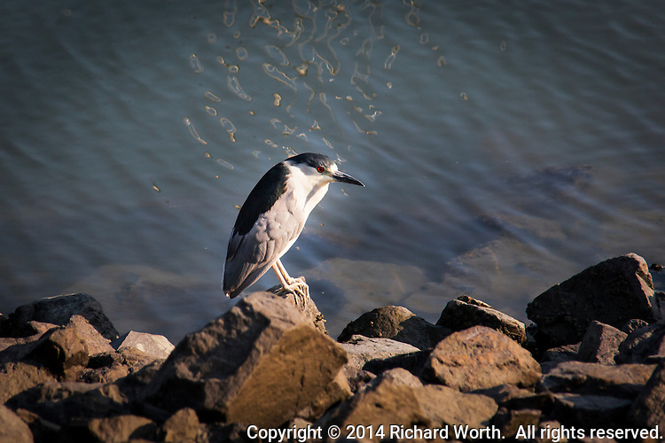 A Black-crowned Night-Heron stands on the rocky edge of the San Leandro Marina.
