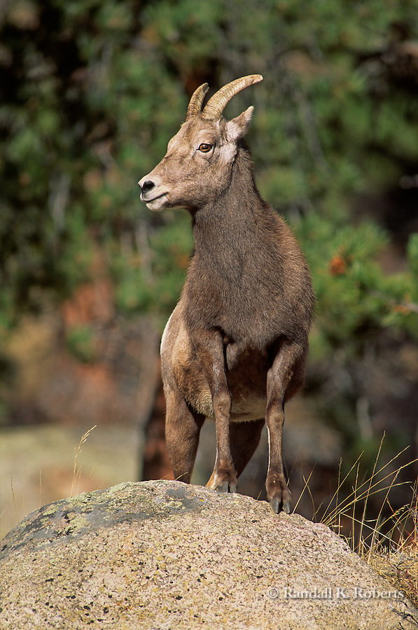 A Rocky Mountain Big Horn sheep ewe stands on a rock for a better view of her surroundings in Rocky Mountain National Park, Colorado. (Ovis canadensis)