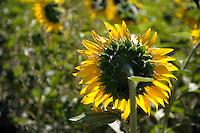 Campo di girasoli.Sunflower field.