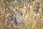 African lion cub, Masai Mara National Reserve, Kenya