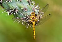 362750006 a wild female spot-winged meadowhawk sympetrum signiferum perches on a cactus plant in las cienegas state natural area santa cruz county arizona united states