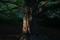 Beech tree carved with initials over the years in Franklin Park, part of Frederick Law Olmsted's Emerald necklace chain of parks planned for Boston.