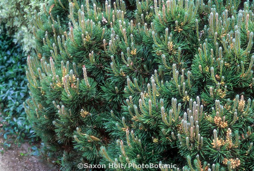 Pinus mugo mugo (Mugho Pine) with fresh growth (candles) on evergreen tree pruned as a low wide shrub