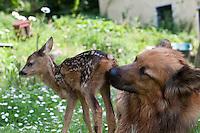 Rehkitz, Reh-Kitz, verwaistes, pflegebedürftiges Jungtier wird in menschlicher Obhut großgezogen, Hund leckt das Kitz sauber, Analmassage,Kitz, Tierkind, Tierbaby, Tierbabies,  Europäisches Reh, Ricke, Weibchen, Capreolus capreolus, Roe Deer, Chevreuil