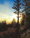 Truckee Mist in the Pines
