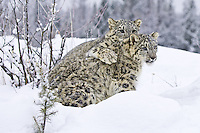 Pair of Snow Leopards playing in the snow - CA