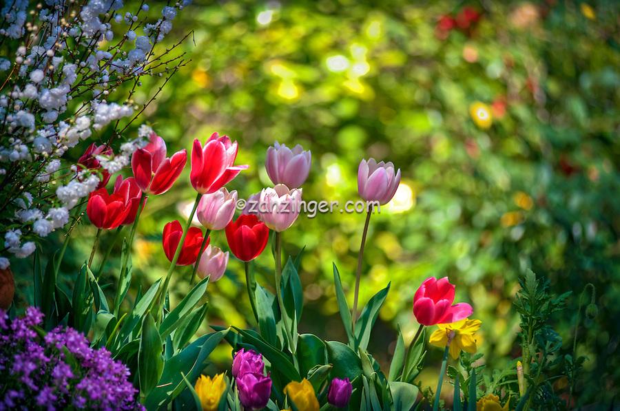 Descanso Gardens, La Canada, Flintridge, Tulips, flora, botanic, colorful, blooming, spring, garden, horticulture