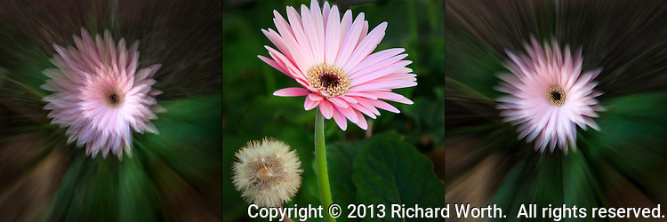 Three different views of a pink flower, combined in a triptych.