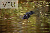 An American Alligator in a swamp. ,Alligator mississippiensis, Atchafalaya Basin, Louisiana