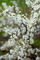 Hawthorn blossom, Crataegus monogyna, in springtime in Swinbrook in the Cotswolds, Oxfordshire, UK