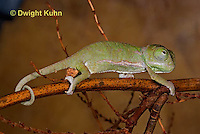 CH46-548z  Veiled Chameleon just hatched young, Chamaeleo calyptratus