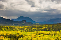 The boreal forest deciduous aspen and birch trees begin to turn color against the backdrop of the Alaska range mountains, Denali National Park, interior, Alaska.