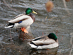 Pair of Mallard Ducks in rich bright plumage nearing mating season