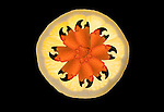 Stone crab claw pinwheel in a Lemon Sunburst. No biotechnology was used to create this.