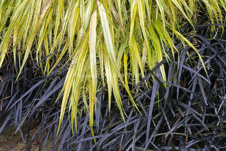 Home flower garden - Hakenochloa Macra Aureola Ophiopogon Planiscapus