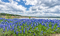 Bluebonnets along waters edge