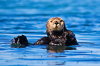 Picture of southern sea otter or California sea otter, Enhydra lutris nereis, endangered species, Moss Landing, Elkhorn Slough, Monterey Bay, California, North East Pacific Ocean