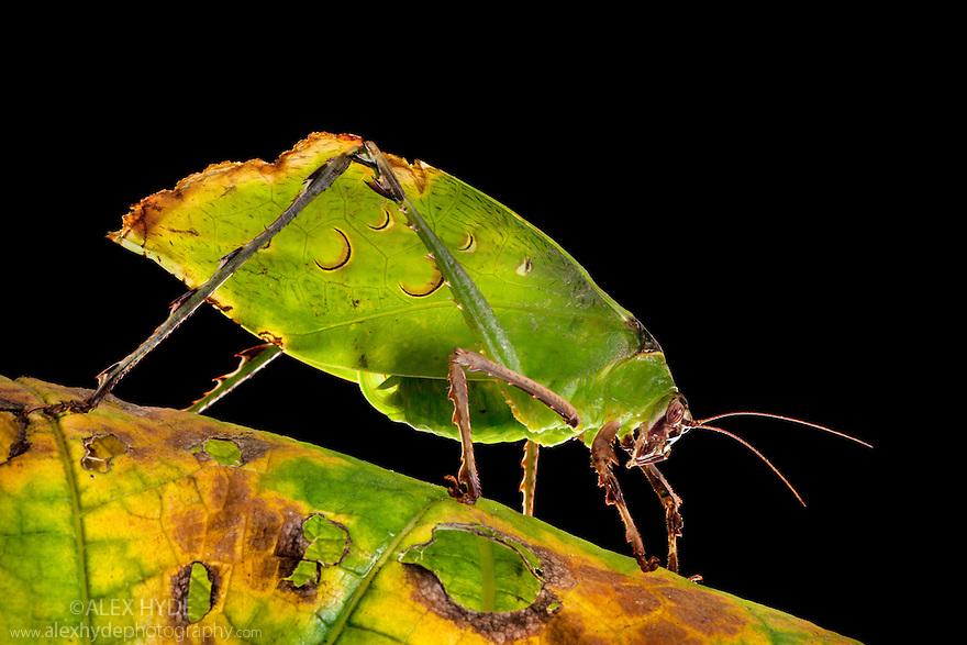 Malaysian Leaf Katydid {Ancylecha fenestrata},  an execellent leaf mimic originating from the rainforests of  Western Malaysia. Captive.
