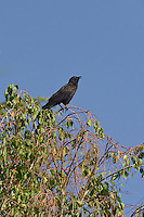 513000002 a wild american crow corvus brachyrhynchos calls from a large tree  in inyo county california