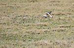 Andean lapwing, Vanellus resplendens. Antisana Ecological Reserve, Ecuador