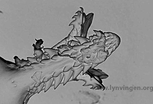 Q Fever Reptiles Tick | Lynvingen Photo...