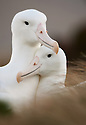 Southern royal albatross pair (Diomedea epomophora), Campbell Island, New Zealand
