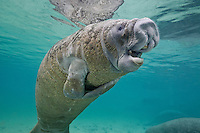 RQ31132-D. Florida Manatee (Trichechus manatus latirostris), juvenile opening mouth, showing flexible lips and large molar-like teeth. The lips help manipulate seagrasses and algaes, the main food items for this herbivorous marine mammal. Florida, USA.<br /> Photo Copyright &copy; Brandon Cole. All rights reserved worldwide.  www.brandoncole.com