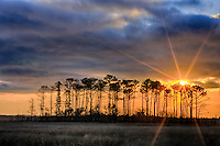A stand of pine trees grows on a Island in the marshes of Roanoke island.