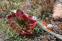 Mt. Evans alpine flora