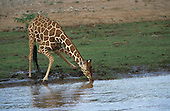 A Reticulated Giraffe (Giraffa camelopardalis reticulata) drinking, Samburu National Game Reserve, Kenya.