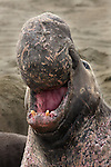 Northern Elephant Seal (Mirounga angustirostris).  An old bull, scarred by many battles over mating rights, bellows a warning to potential rivals. Piedras Blancas State Marine Reserve. Near Cambria, San Luis Obispo Co., Calif.